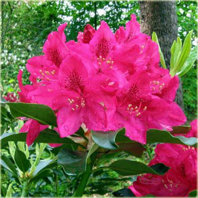 rododendron wielkokwiatowy nova zembla rhododendron nova. Black Bedroom Furniture Sets. Home Design Ideas