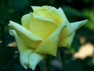 6abcf4984d07dc Róża wielkokwiatowa cytrynowa Berolina Large flowered citric rose ...