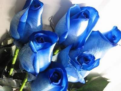 fe5ee39d9d68ed Róża wielkokwiatowa niebieska Blue Sky Large flowered blue rose Blue Sky