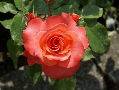 a6ca98ed7d49f2 Róża wielkokwiatowa pomarańczowa Doris Large flowered orange rose Doris