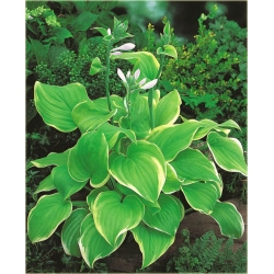 funkia_lakeside_cha_cha_hosta