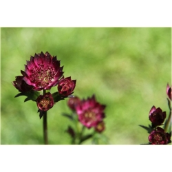 jarzmianka_moulin_rouge_astrantia_major