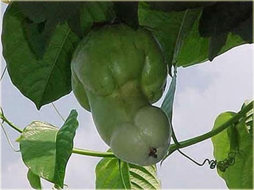 Owoc penisa