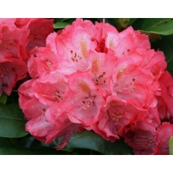 Rododendron wielkokwiatowy Anthony Waterer - Rhododendron Anthony Waterer