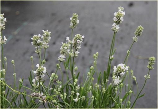 Lawenda biała wąskolistna Arctic Snow Lavandula angustifolia