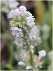 Lawenda Ellagance Goliath Lavandula angustifolia