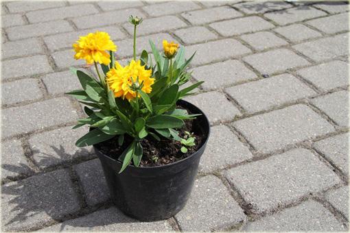 Nachyłek Wielkokwiatowy Solena Compact Coreopsis Grandiflora