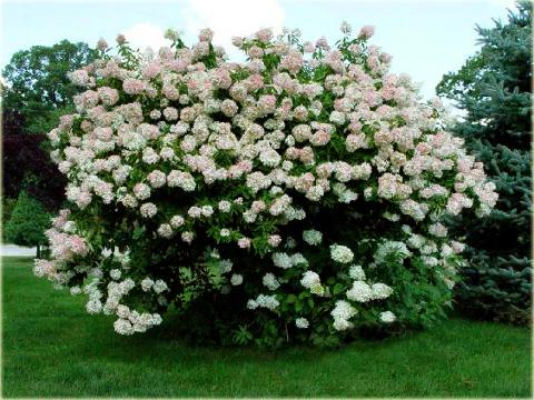 hortensja bukietowa grandiflora hydrangea paniculata. Black Bedroom Furniture Sets. Home Design Ideas