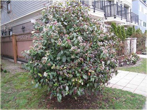 Kalina wawrzynowata kalina wiecznie zielona Viburnum tinus