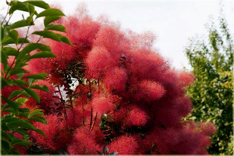 Perukowiec Podolski Czerwony Cotinus Coggygria Red
