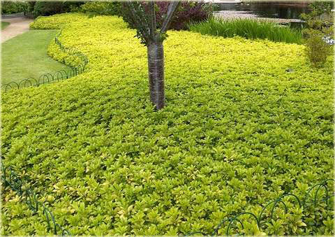 Runianka japońska Green Carpet Pachysandra terminalis Green Carpet