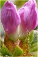 Azalia japońska Alpinum Azalea japonica Alpinum