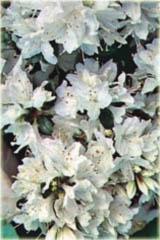Azalia japońska Kermesina Alba Azalea japonica Kermesina Alba