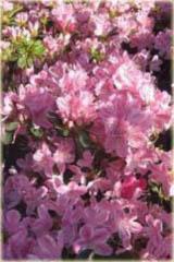 Azalia japońska Kermesina Azalea japonica Kermesina