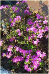 Azalia japońska Ledikanense Azalea japonica Ledikanense