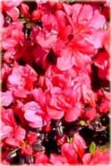 Azalia japońska Maruschka Azalea japonica Maruschka