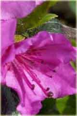 Azalia japońska Orlice Azalea japonica Orlice