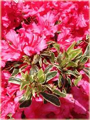 Azalia japońska Silver Sword czerwona rhododendron Japanese Azalea