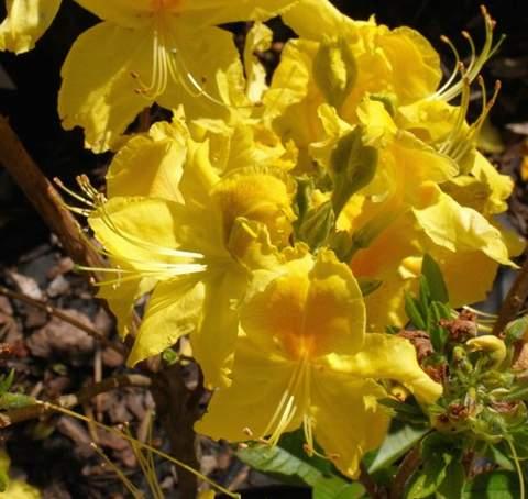 Azalia wielkokwiatowa Golden flare Azalea Golden flare