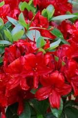 Azalia wielkokwiatowa Nabucco Azalea Nabucco
