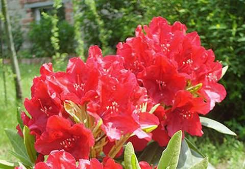 Azalia wielkokwiatowa Parkfeuer Azalea Parkfeuer
