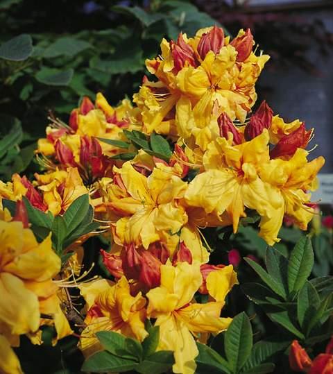 Azalia wielkokwiatowa Sunte nectarine Azalea Sunte nectarine