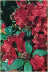 Rododendron repens Bad Eilsen Rhododendron repens Bad Eilsen