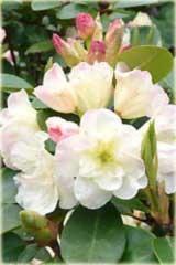 Rododendron wielokwiatowy Creamy Chifon Rhododendron Creamy Chifon