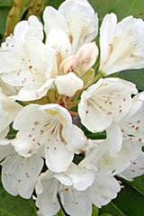 Rododendron wielkokwiatowy Cunningham's White Rhododendron Cunningham's White