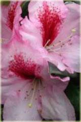 Rododendron wielkokwiatowy Diadem Rhododendron Diadem