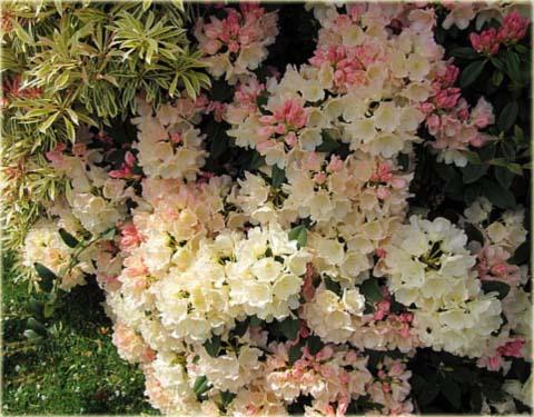 Rododendron odmiany karłowe