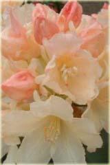 Rododendron jakuszimański Golden Torch Rhododendron yakushimanum Golden Torch