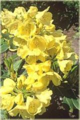 Rododendron wielkokwiatowy Goldkrone Rhododendron Goldkrone