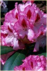 Rododendron wielkokwiatowy Hachmans Charmant Rhododendron Hachmans Charmant