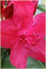 Rododendron wielkokwiatowy Hachmanns Feurschein Rhododendron Hachmanns Feurschein