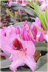 Rododendron wielkokwiatowy Kabarett Rhododendron Kabarett