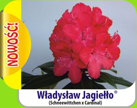 Rhododendron Władysław Jagiełło Rododendron królewski Władysław Jagiełło