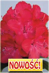 Rododendron królewski Władysław Jagiełło Rhododendron Władysław Jagiełło