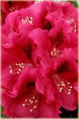 Rododendron wielkokwiatowy Mieszko I Rhododendron Mieszko I