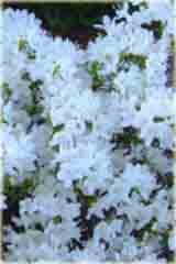 Rododendron miniaturowy Billy Novinka Rhododendron Billy Novinka