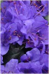 Rododendron miniaturowy Glistede Rhododendron Glistede