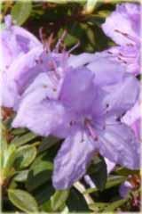 Rododendron miniaturowy Krumlov Rhododendron Krumlov