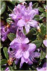 Rododendron miniaturowy Moerheim Rhododendron Moerheim