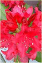 Rododendron wielkokwiatowy Nova Zembla Rhododendron Nova Zembla