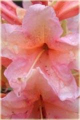 Rododendron wielkokwiatowy Orangina Rhododendron Orangina
