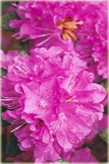 Rododendron wielkokwiatowy P.J.M.Elite Rhododendron P.J.M.Elite
