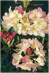 Rododendron jakuszimański Percy Wiseman Rhododendron yakushimanum Percy Wiseman