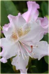 Rododendron wielkokwiatowy Pohjolas Daughter Rhododendron Pohjolas Daughter