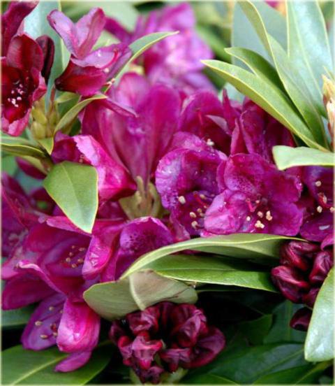 Rododendron wielkokwiatowy Polarnacht - Rhododendron Polarnacht