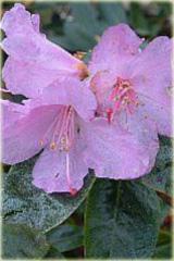 Rododendron wielkokwiatowy Praecox Rhododendron Praecox